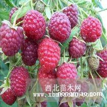 树莓 树莓苗 双季树莓苗 灯笼果苗  黑树莓苗 黄树莓苗