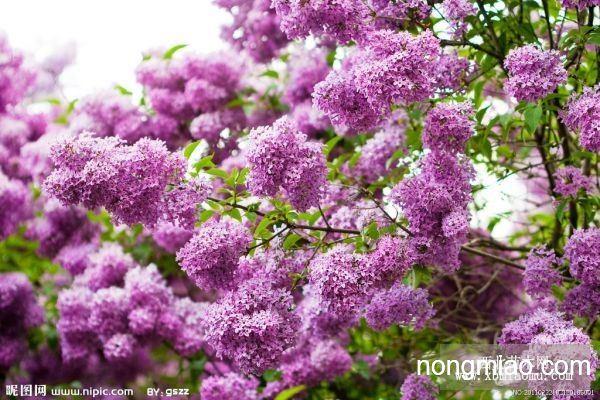 樱桃树--可以做树墙,用于观赏,美化环境