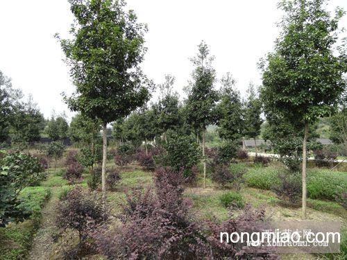 大量供应优质楠木大苗