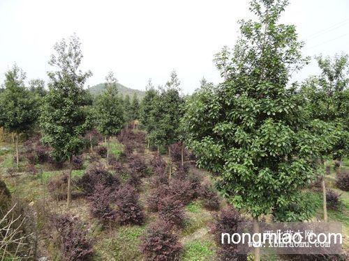 大量供应楠木大苗 公司园林产地6
