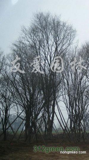 供应茶条槭、丛生茶条槭