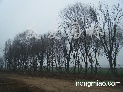 供应西安茶条槭、毛叶海棠、蒙古栎等四十多种苗木