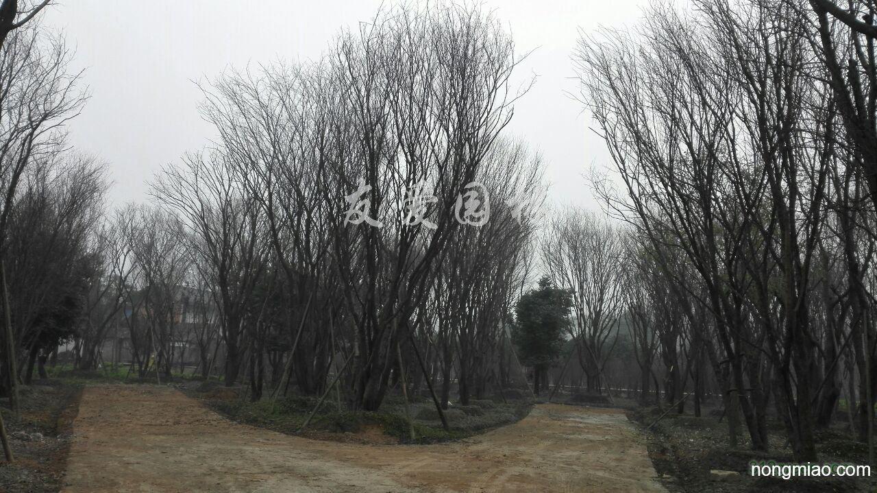 供应20-60公分茶条槭
