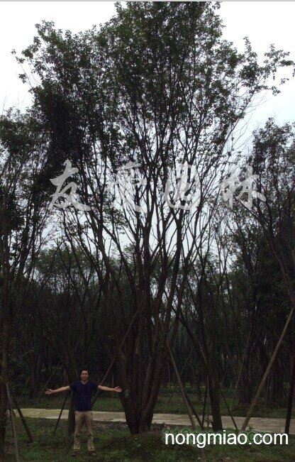 供应茶条槭熟货