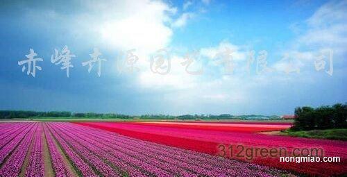 供应草花种子、草花种子、野花组合种子