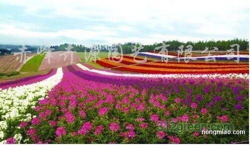供应进口花卉种子、F1代花卉种子