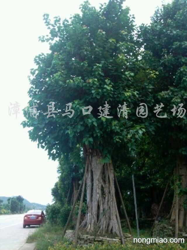 供应菩提树