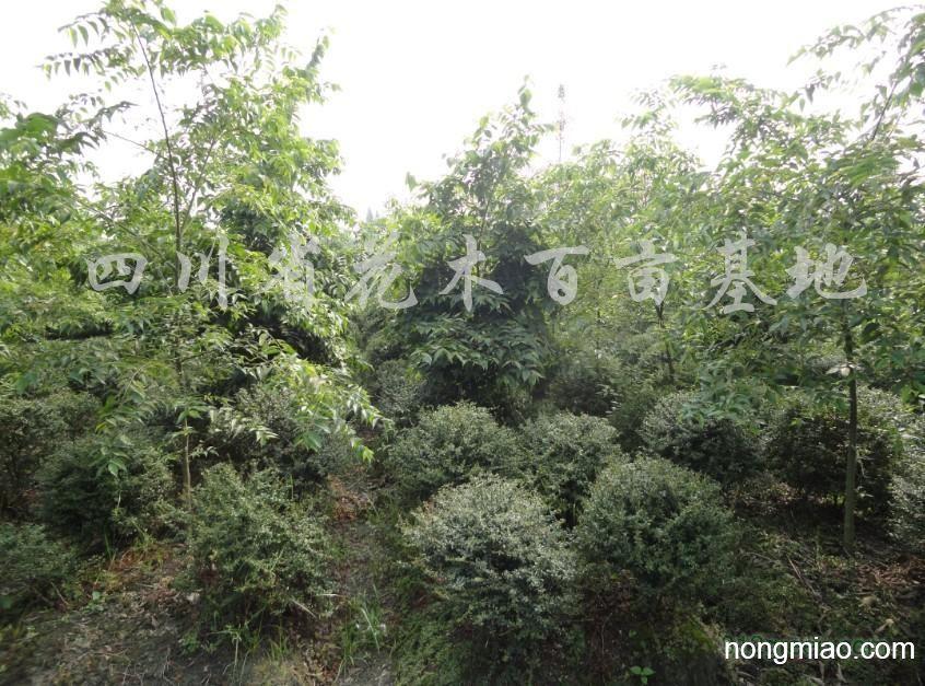 供应火棘球、万年青球、海桐球等绿化苗木