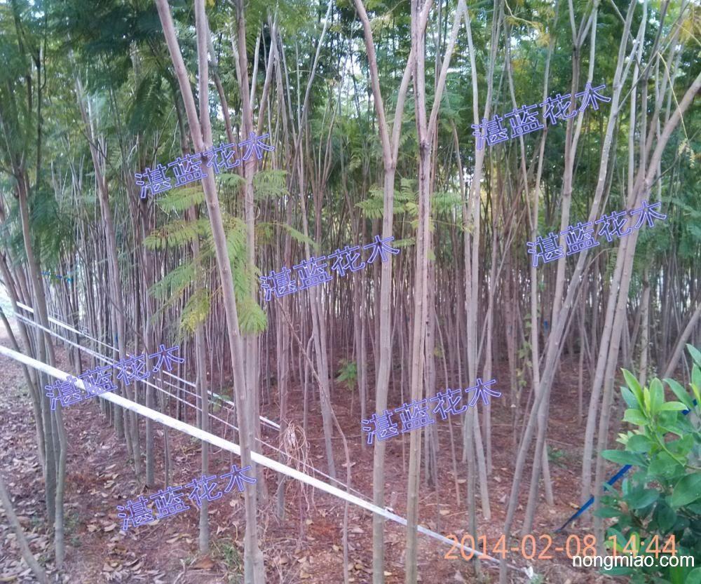 供应蓝花楹、龙血树、富贵榕