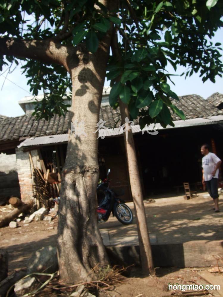 供应高山榕、菩提树等名木古树