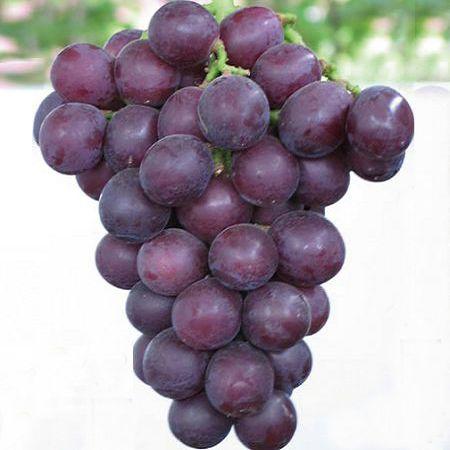 巨峰葡萄苗,早熟葡萄苗