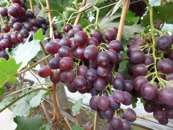 大粒六月紫葡萄苗