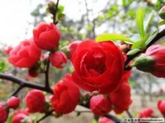 木瓜海棠苗,木瓜苗,木瓜树桩
