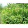 供应山西黄连木、种苗供求信息、农苗网