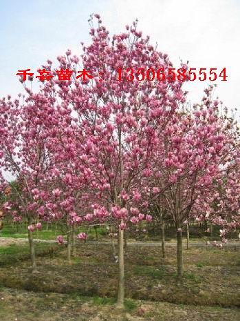 红玉兰产地 浙江红玉兰生产供应