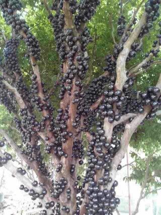 供应木葡萄苗 树葡萄苗 嘉宝果