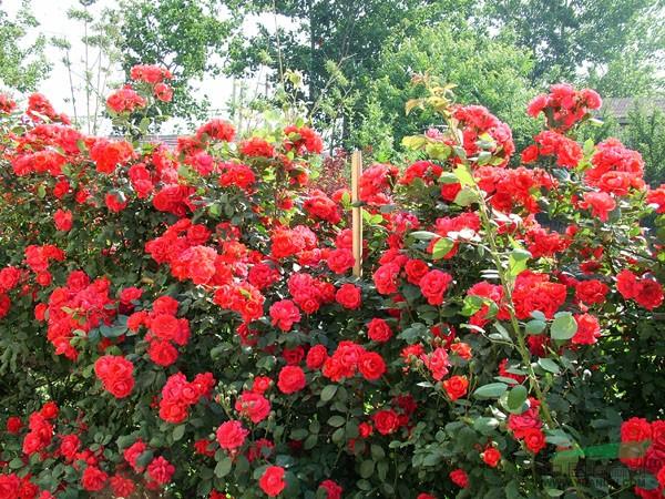 山东蔷薇基地