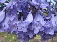 供应蓝花楹 三角梅 香樟 樟木