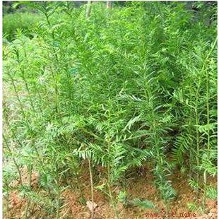 供应红豆杉 任豆树苗种 楠木苗