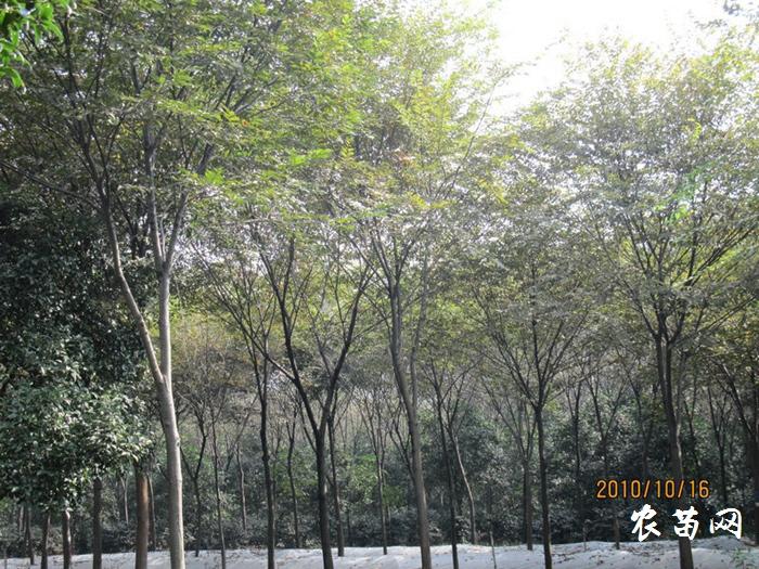 供应榉树 胸径30-37CM