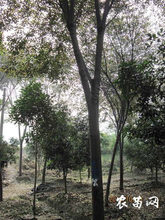 供应榉树 胸径20-29CM