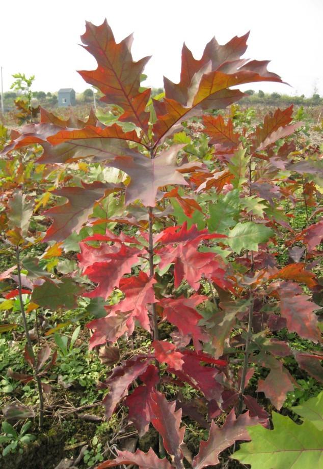 供应北美红栎(美国红橡树)