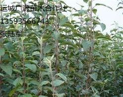 出售1米以上苹果苗桃树苗山楂苗