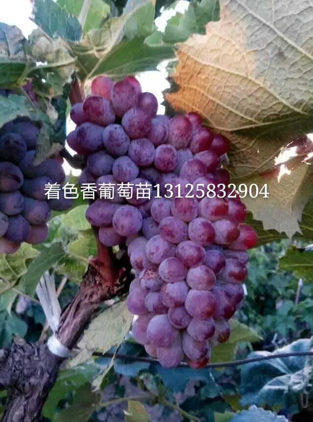 辽宁葡萄苗,出售京玉玫瑰葡萄苗