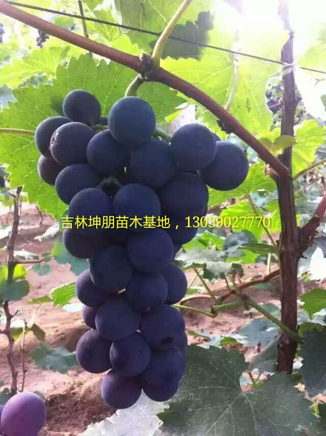 内蒙葡萄苗,出售巨峰京亚葡萄苗