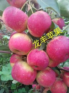 吉林出售寒富苹果苗|内蒙两刀寒富果树苗
