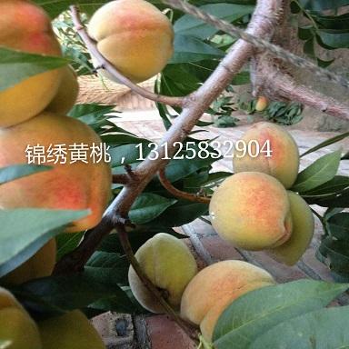锦绣黄桃苗,采摘桃苗好品种,南北方都可种植