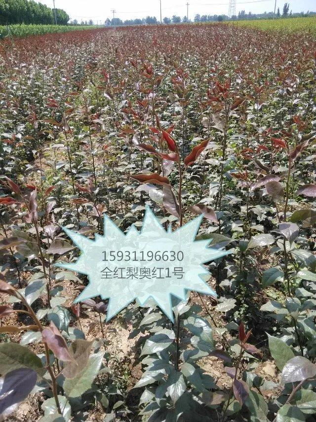 出售奥红1号全红梨苗预定中保证品种