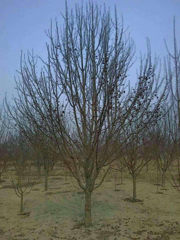 15公分八棱海棠树