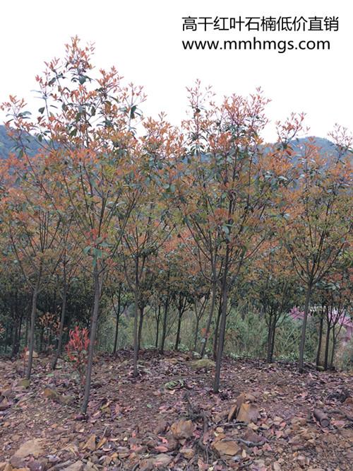 高干红叶石楠-湖南红叶石楠小苗-低价处理