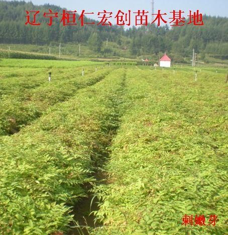 刺嫩芽苗、刺嫩芽苗基地
