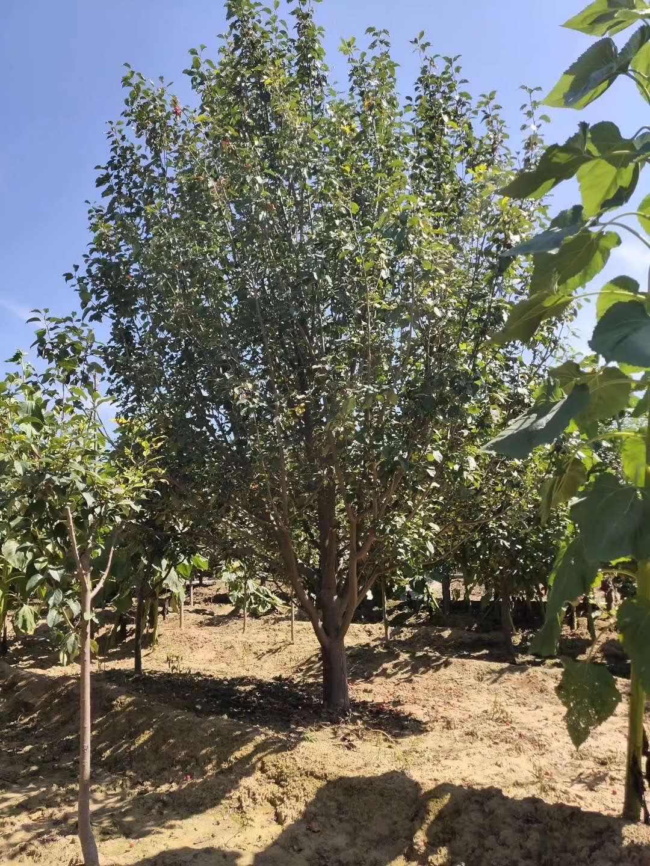 18公分八棱海棠树