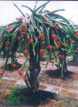 供火龙果苗、红龙果苗、台湾火龙果苗