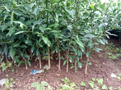供香橙苗、小叶软枝香橙苗、早熟砂糖橘苗