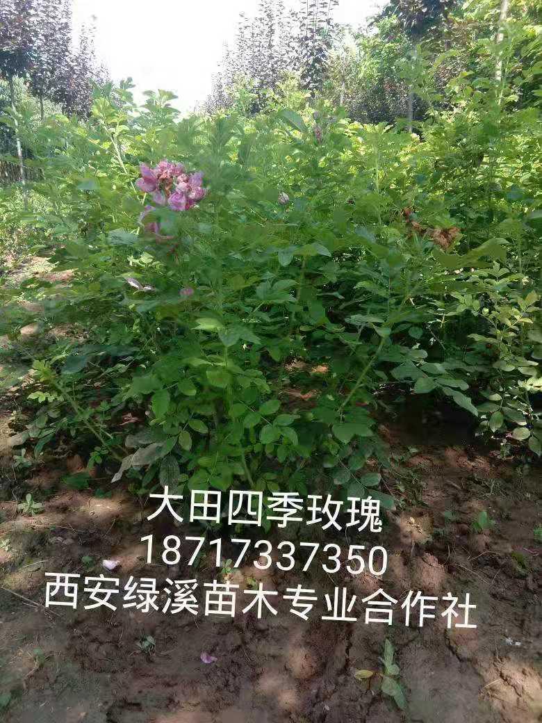 供应陕西四季玫瑰