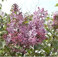 丛生紫丁香 丛生白丁香