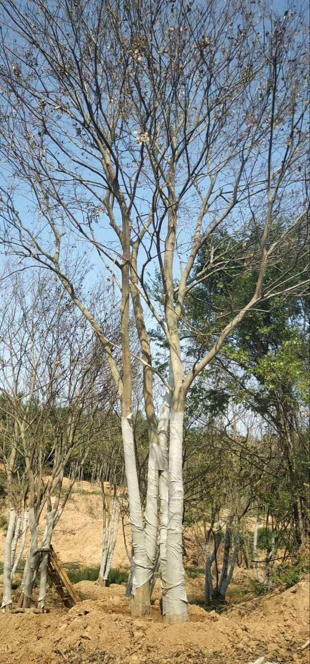 湖北朴树―京山朴树
