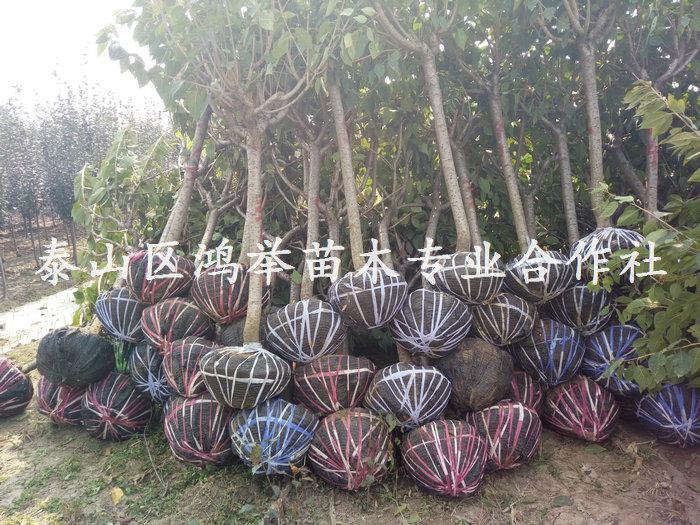 供应泰安樱花树,泰安樱花树苗基地