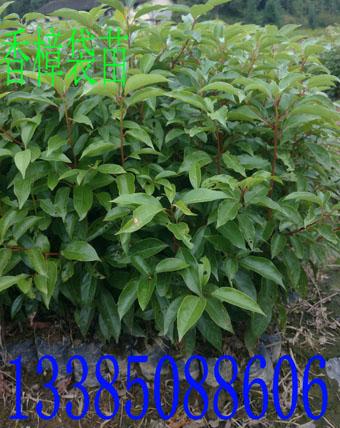 樟树苗 香樟 香樟种子 香樟苗