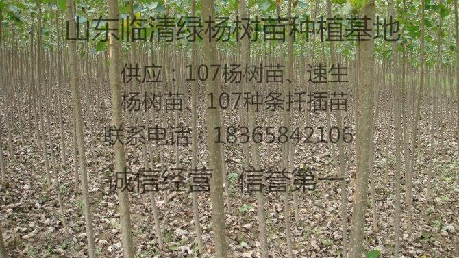 杨树苗基地107杨树苗基地107速生杨