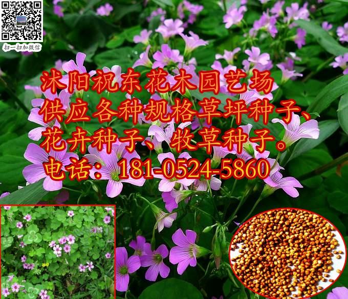 宿迁供应庭院绿化红花三叶草草坪种子