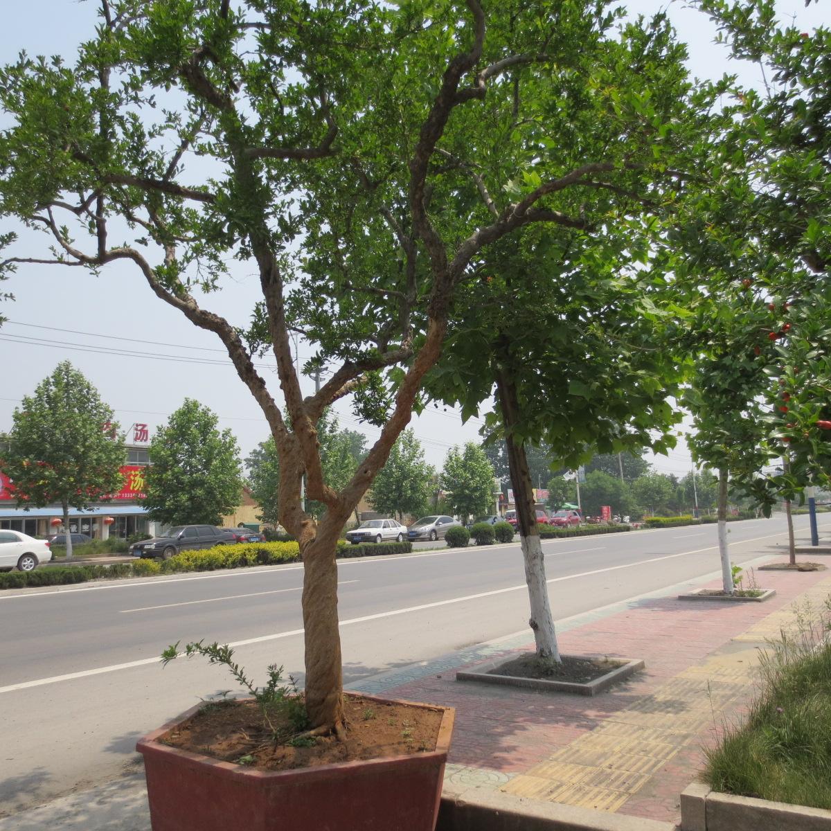 盆栽石榴树
