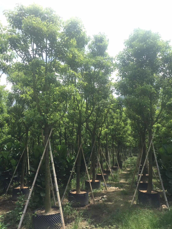 香樟基地价格 10-30公分香樟产地报价