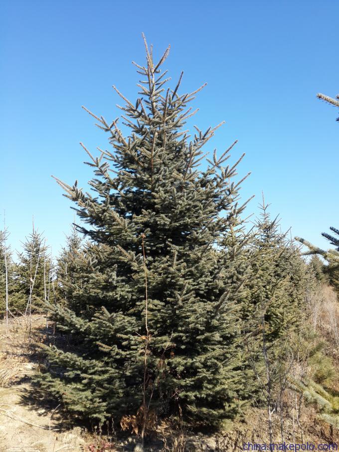 1-4米青仟、红皮云杉,自家苗圃