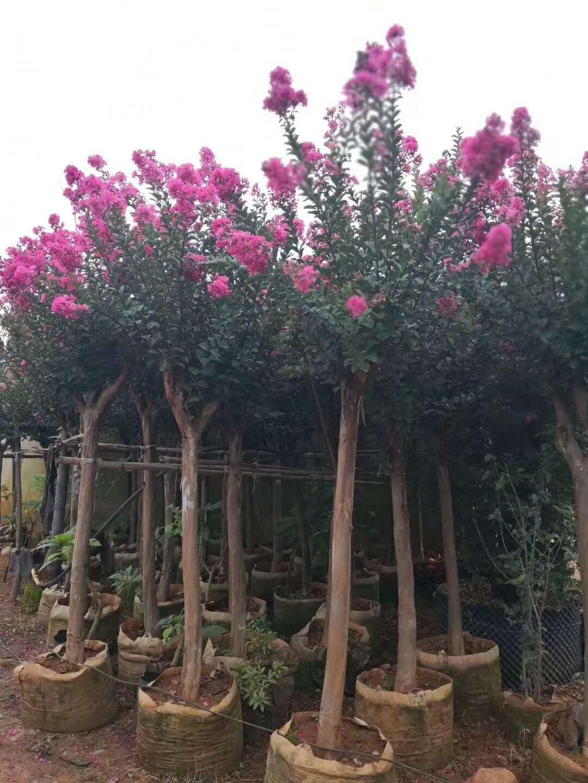 云南贵州地区供应  紫薇