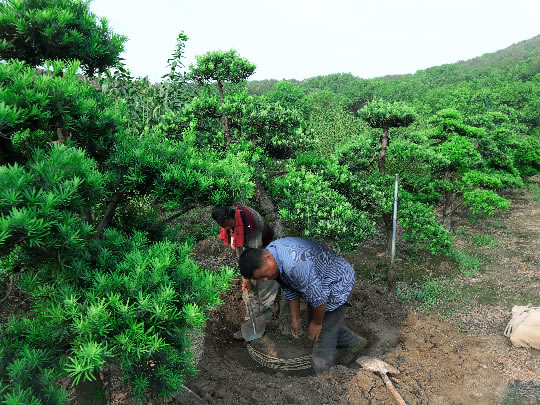 苏州造型罗汉松培育基地 原生罗汉松树苗圃